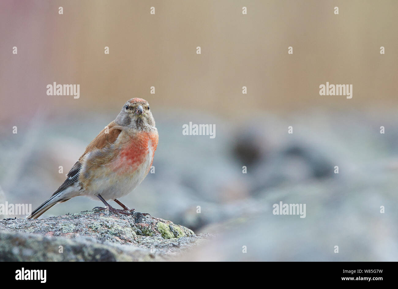 Linnet (Carduelis cannabina) adult male, Uto, Finland, August Stock Photo