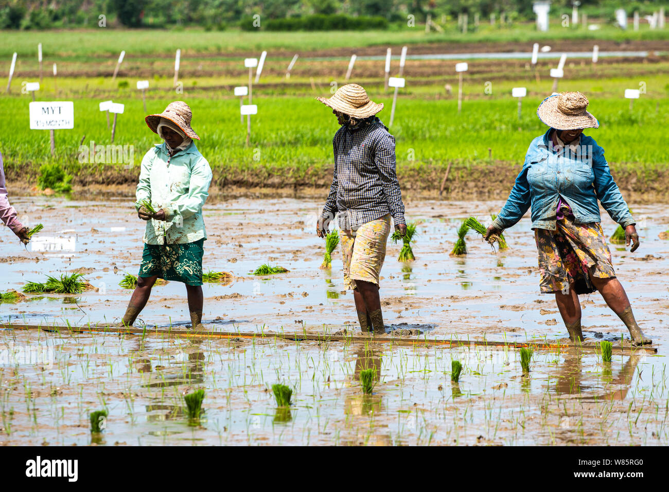Rice field farmers working in the mud Stock Photo