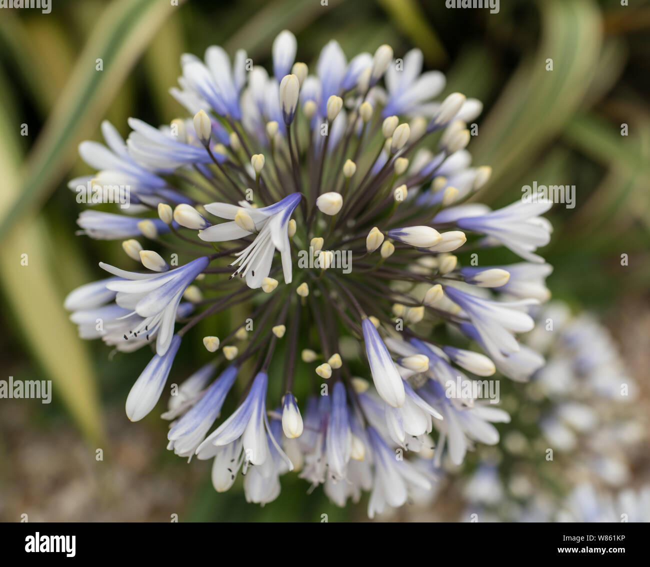 White agapanthus in the rock gardens of Sandbanks Stock Photo