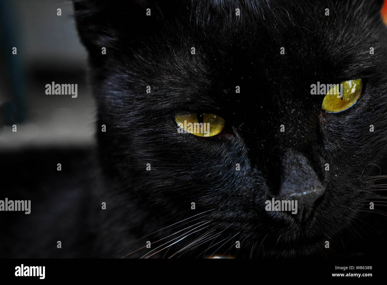 Closeup portrait of beautiful black cat whit green eyes Stock Photo
