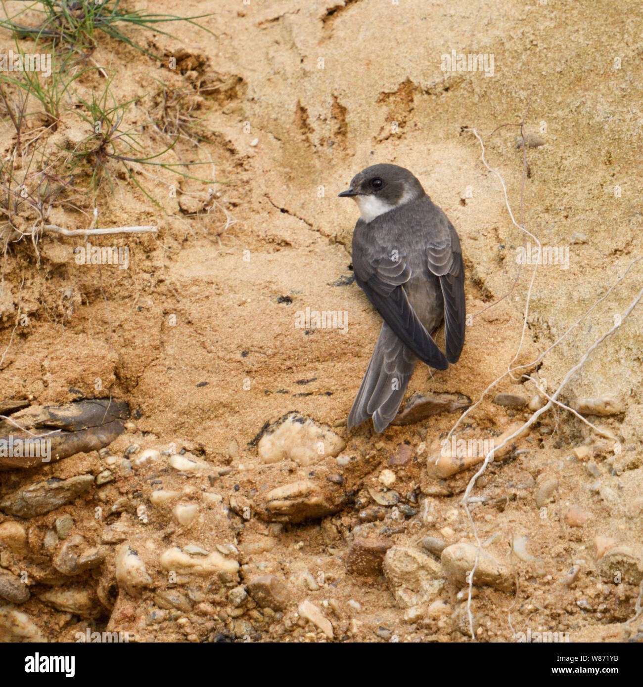 Sand Martin / Bank Swallow ( Riparia riparia) just arrived in itsbreeding territory, searching for a place to dig its nest hole, , wildlife, Europe. Stock Photo