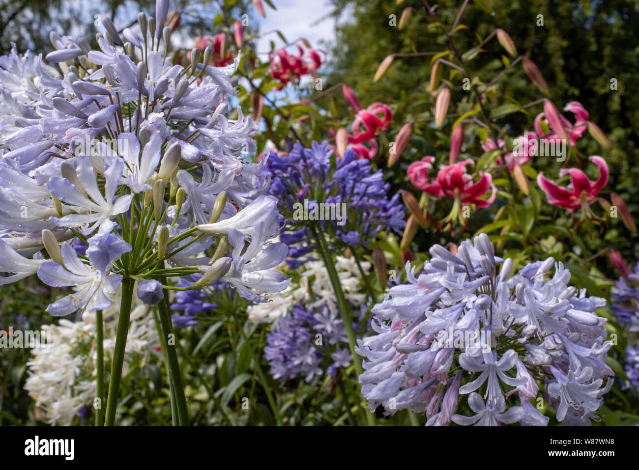 Flowering blue agapanthus in an English garden, Hampshire, UK Stock Photo