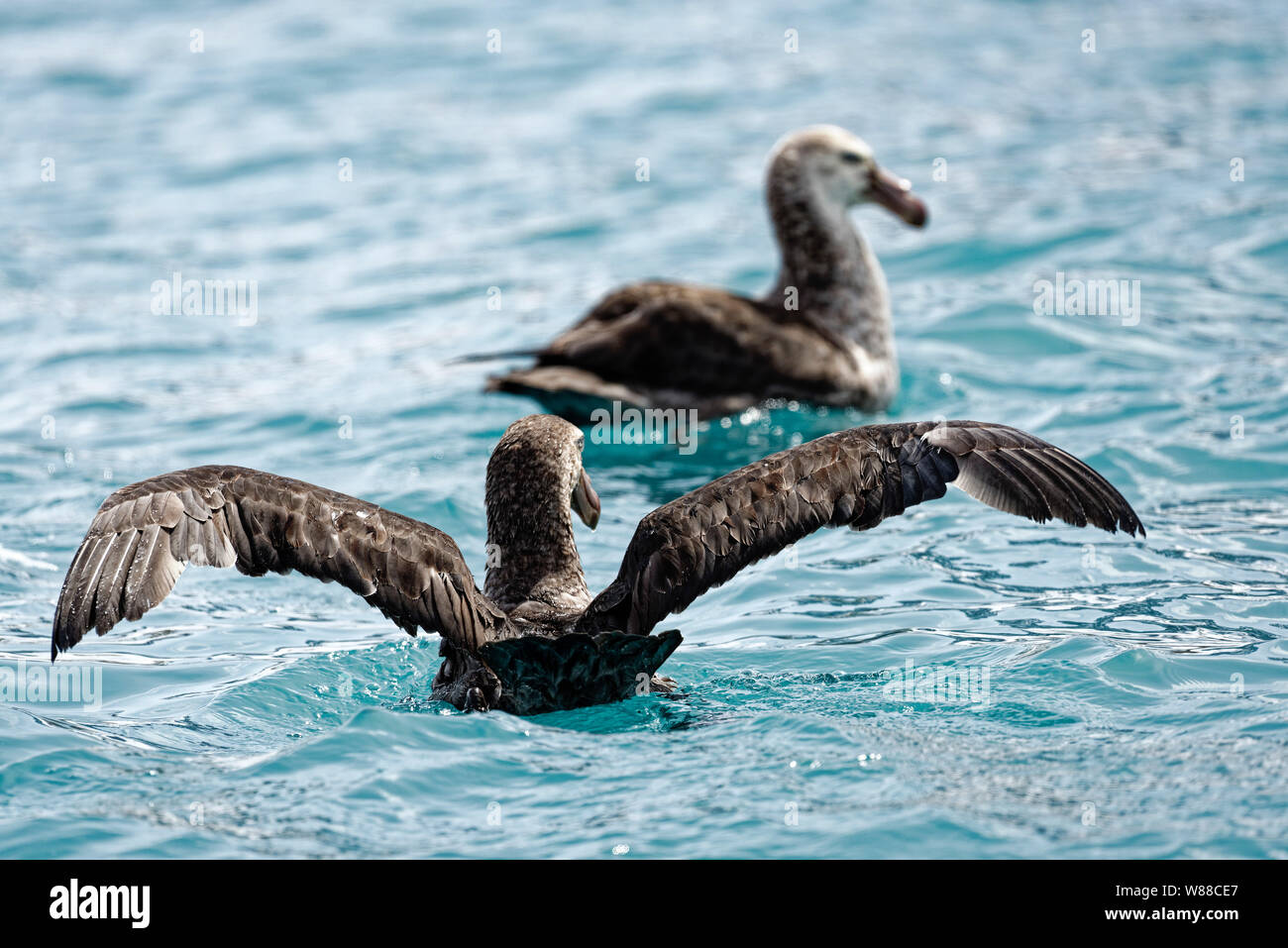 Southern Giant Petrel (Macronectes Giganteus) with extended wings swims in the South Atlantic behind a second Giant Petrel, South Georgia, South Georg Stock Photo