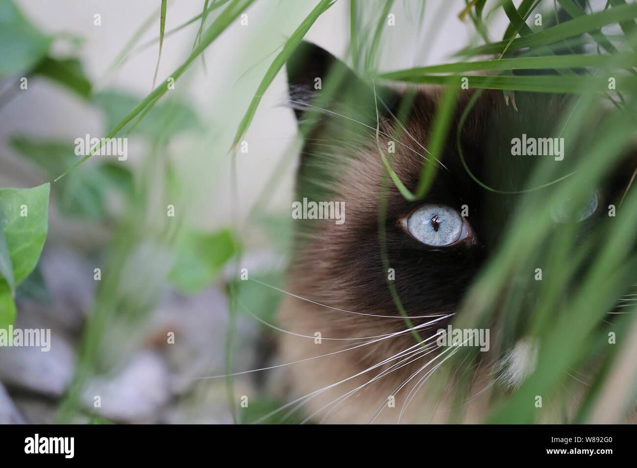Ragdoll Katze Stock Photo