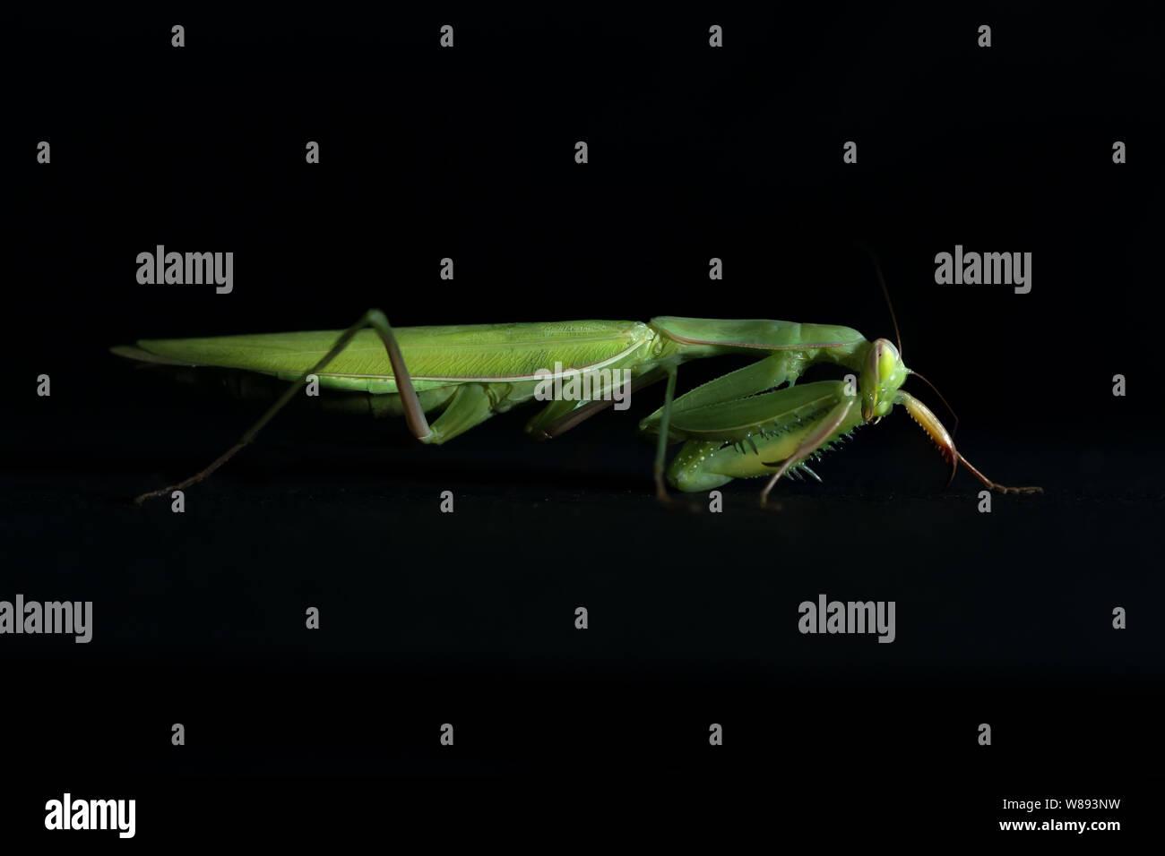 close view of green female mantis religiosa praying mantis on black background Stock Photo