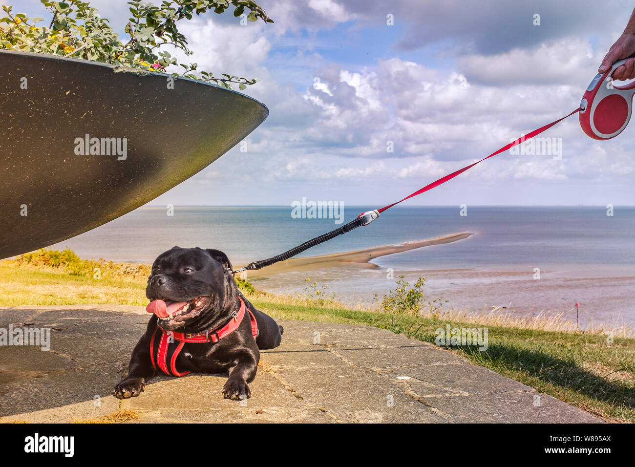 Happy Staffordshire Bull Terrier dog on an extendable lead and wearing a harness, finds some shade under a flower pot in Whitstable. There is a view o Stock Photo