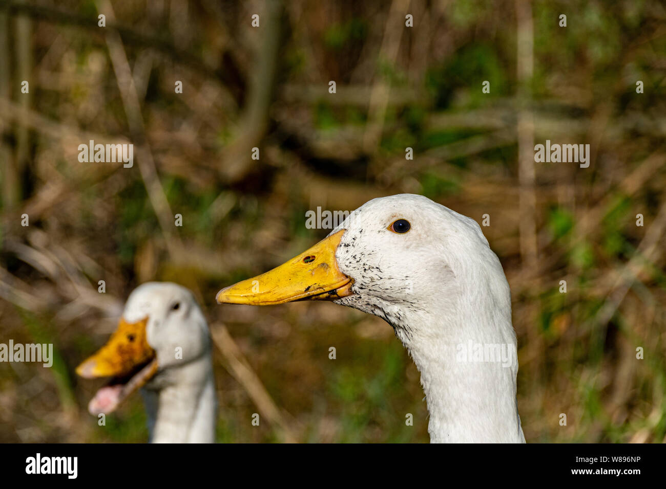 Mucky ducks. Portrait of white ducks with swamp mud around beaks Stock Photo
