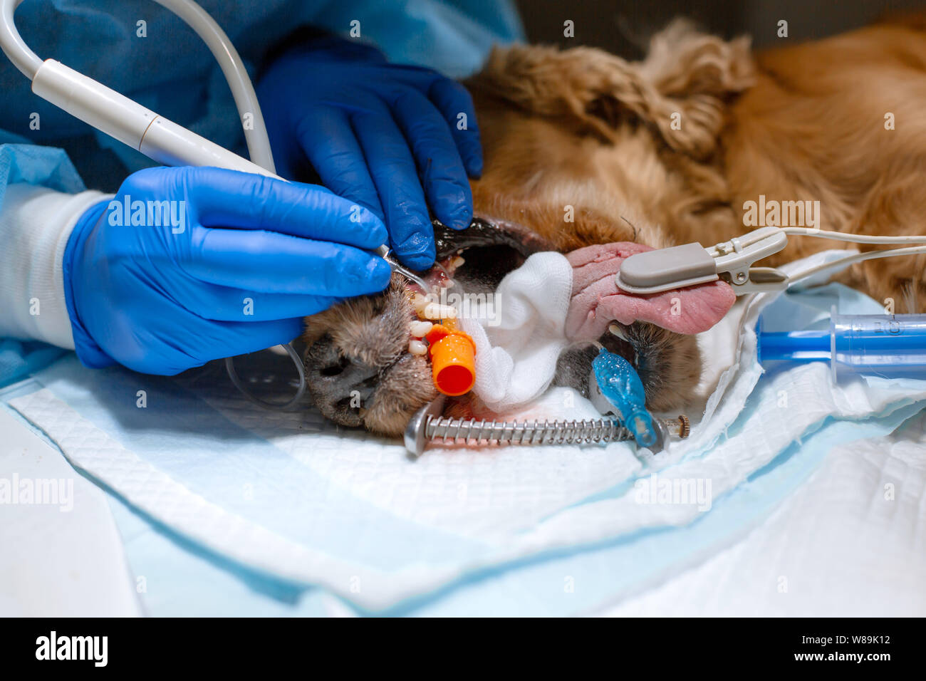 Veterinary dentistry. Dentist surgeon veterinarian cleans and treats a dog's teeth under anesthesia on the operating table in a veterinary clinic. Ult Stock Photo