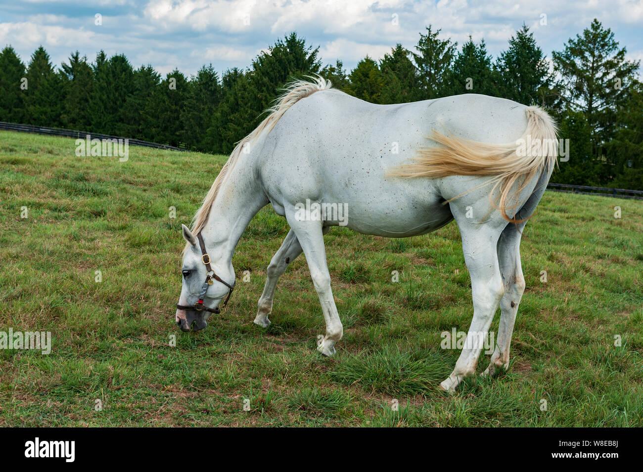 White Horse On Kentucky Horse Farm Stock Photo Alamy