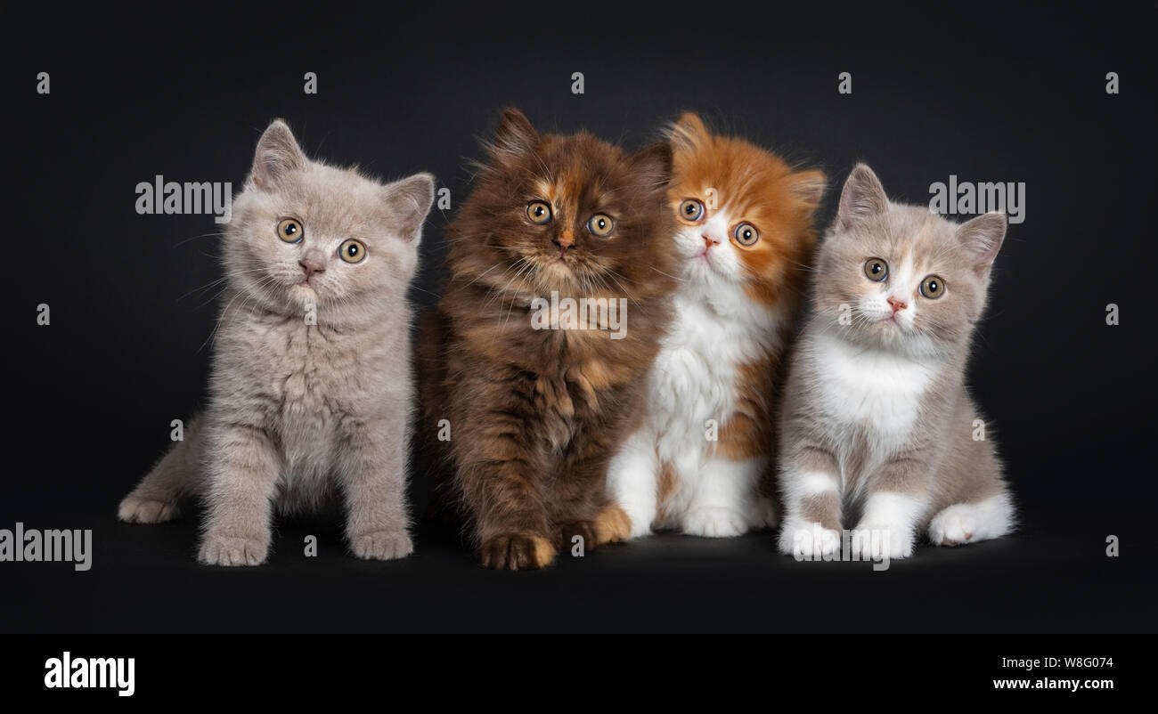 Row Of Multi Colored Litter Of British Longhair And Shorthair Kitten Sitting Facing Camera Looking Curious At Viewer Isolated On Black Background Stock Photo Alamy