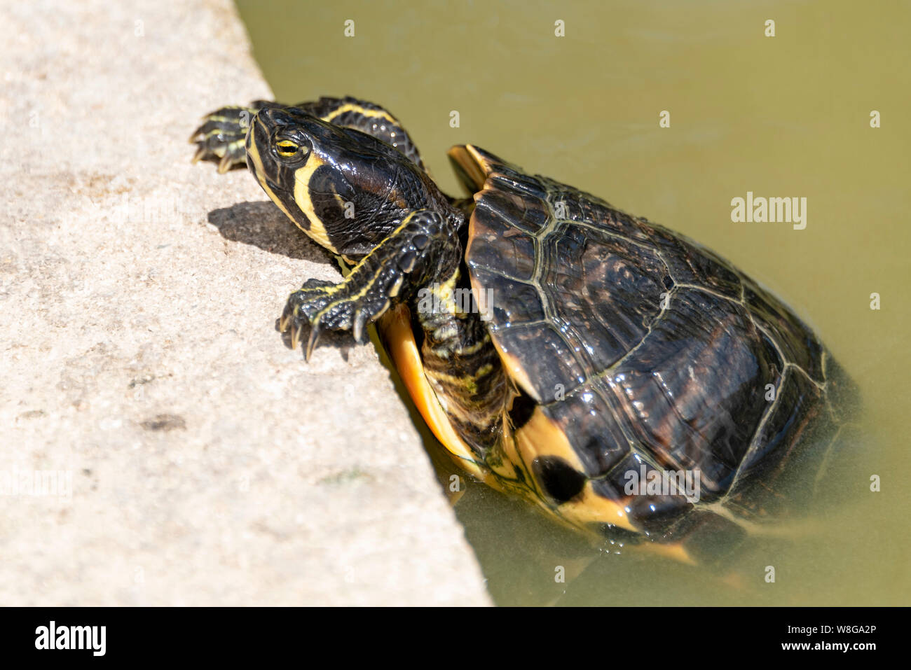 Horizontal close up of a yellow-bellied slider turtle. Stock Photo