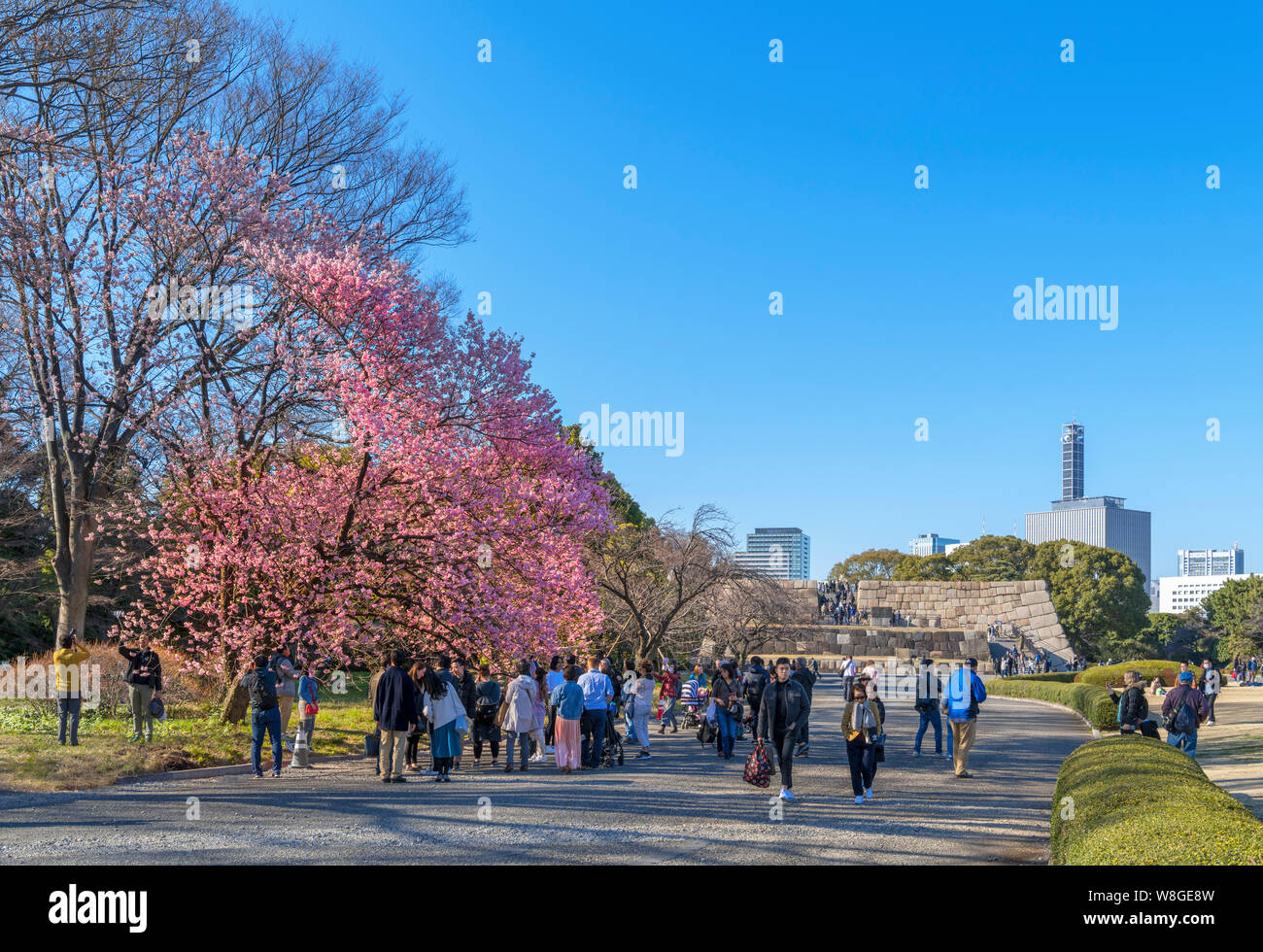 Cherry blossom with the site of the Edo Castle Keep in the distance, East Gardens, Imperial Palace, Tokyo, Japan Stock Photo