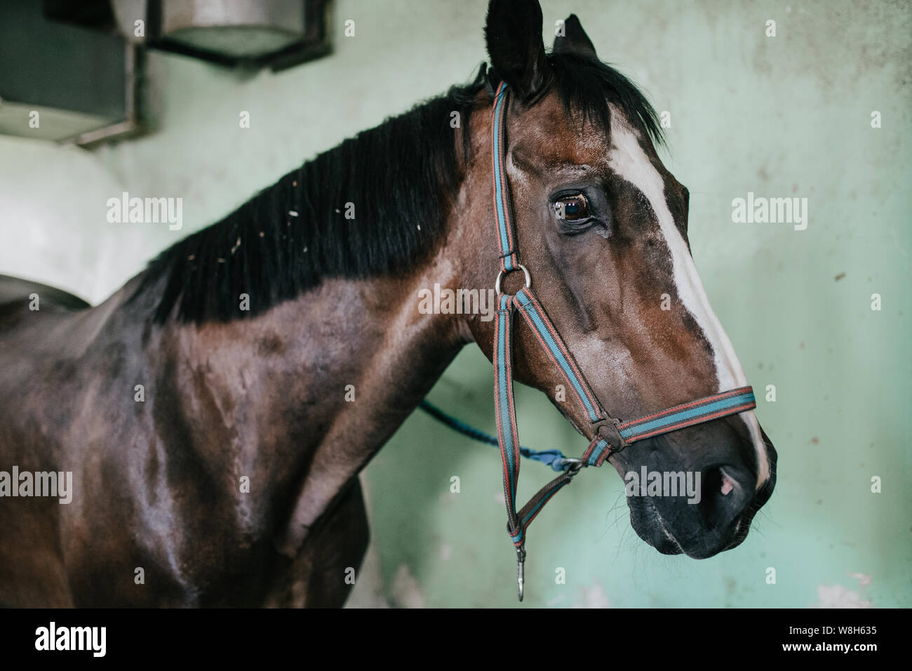 Muzzle horse closeup with bridle, equestrian base Stock Photo