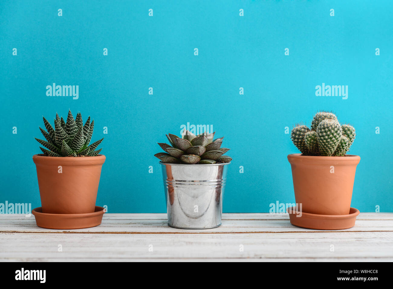 Collection Of Various Cactus And Succulent Plants In Different Pots Potted Cactus House Plants On Blue Background Stock Photo Alamy