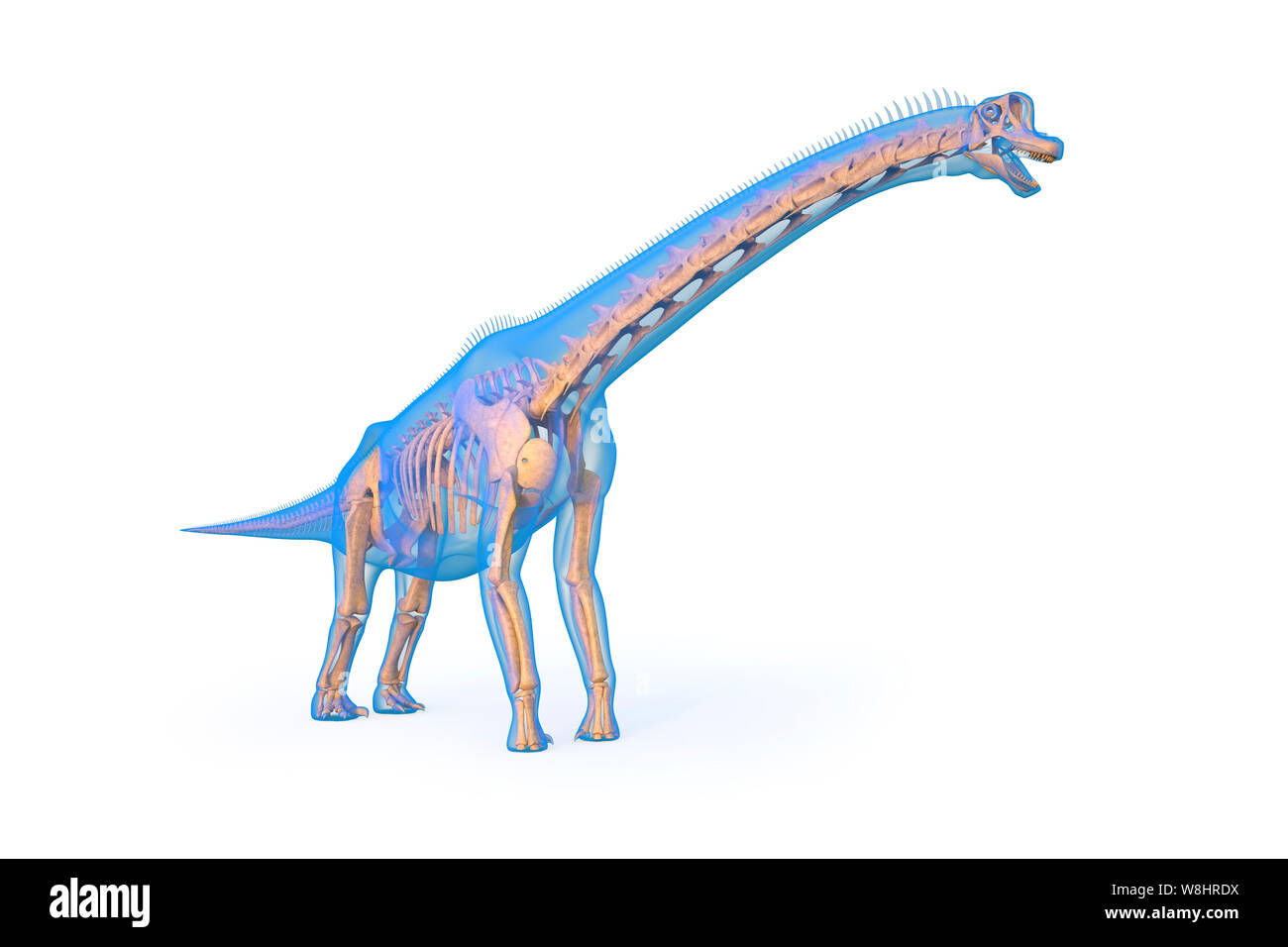 Brachiosaurus dinosaur skeletal structure, illustration. Brachiosaurs lived 154-153 million years ago during the late Jurassic period. Stock Photo