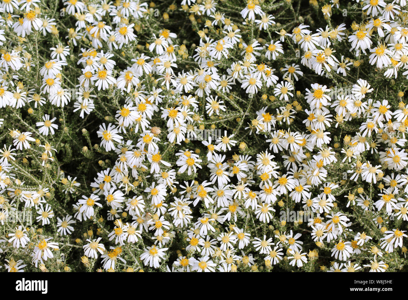 Paper Daisies form a spectacular background Stock Photo