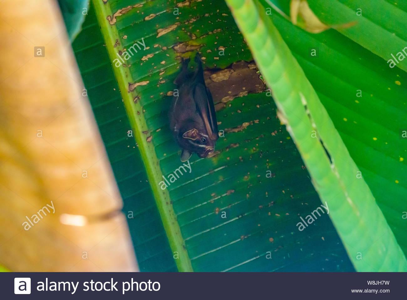 Tent-making Bat (Uroderma bilobatum) taken in Costa Rica Stock Photo