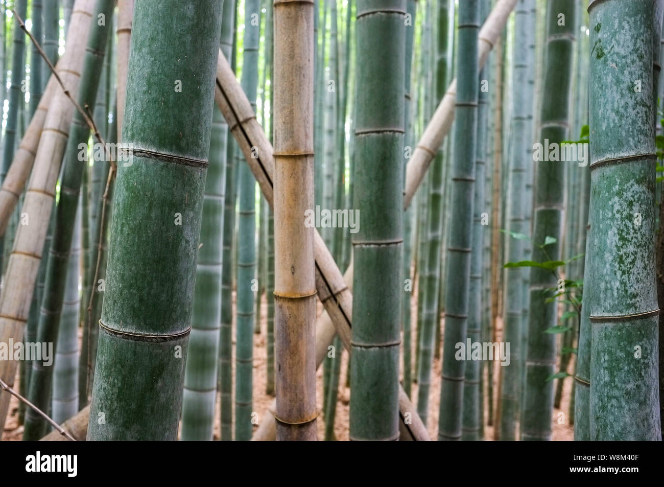 Arashiyama Bamboo Grove also known as the Sagano Bamboo Forest, located in western Kyoto, Japan. Stock Photo