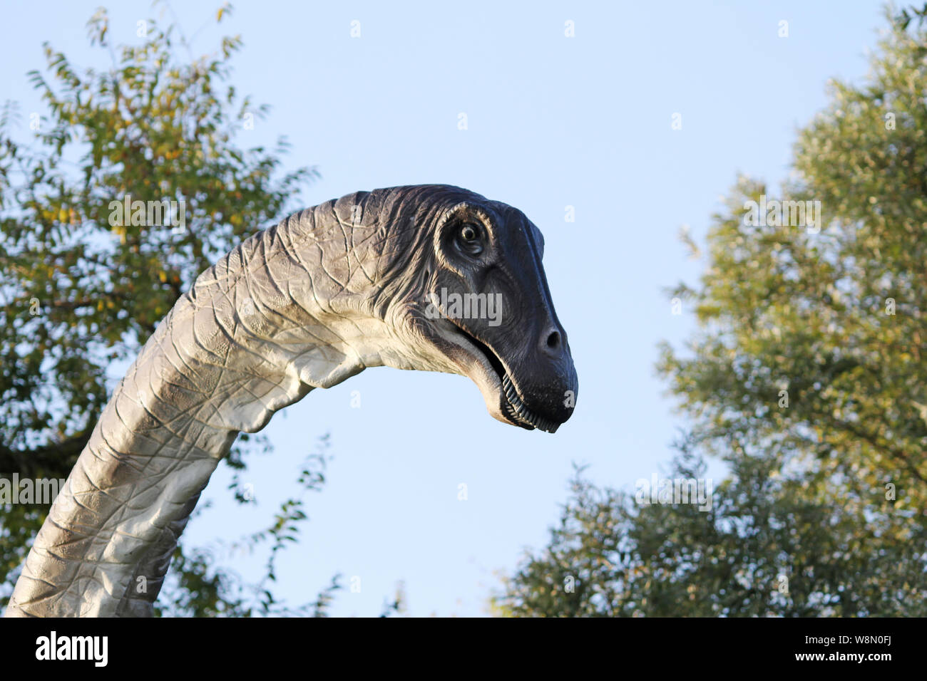 Realistic copy of Brachiosaurus, is a genus of sauropod dinosaur that lived in North America during the Late Jurassic, about 154–153 million years ago Stock Photo