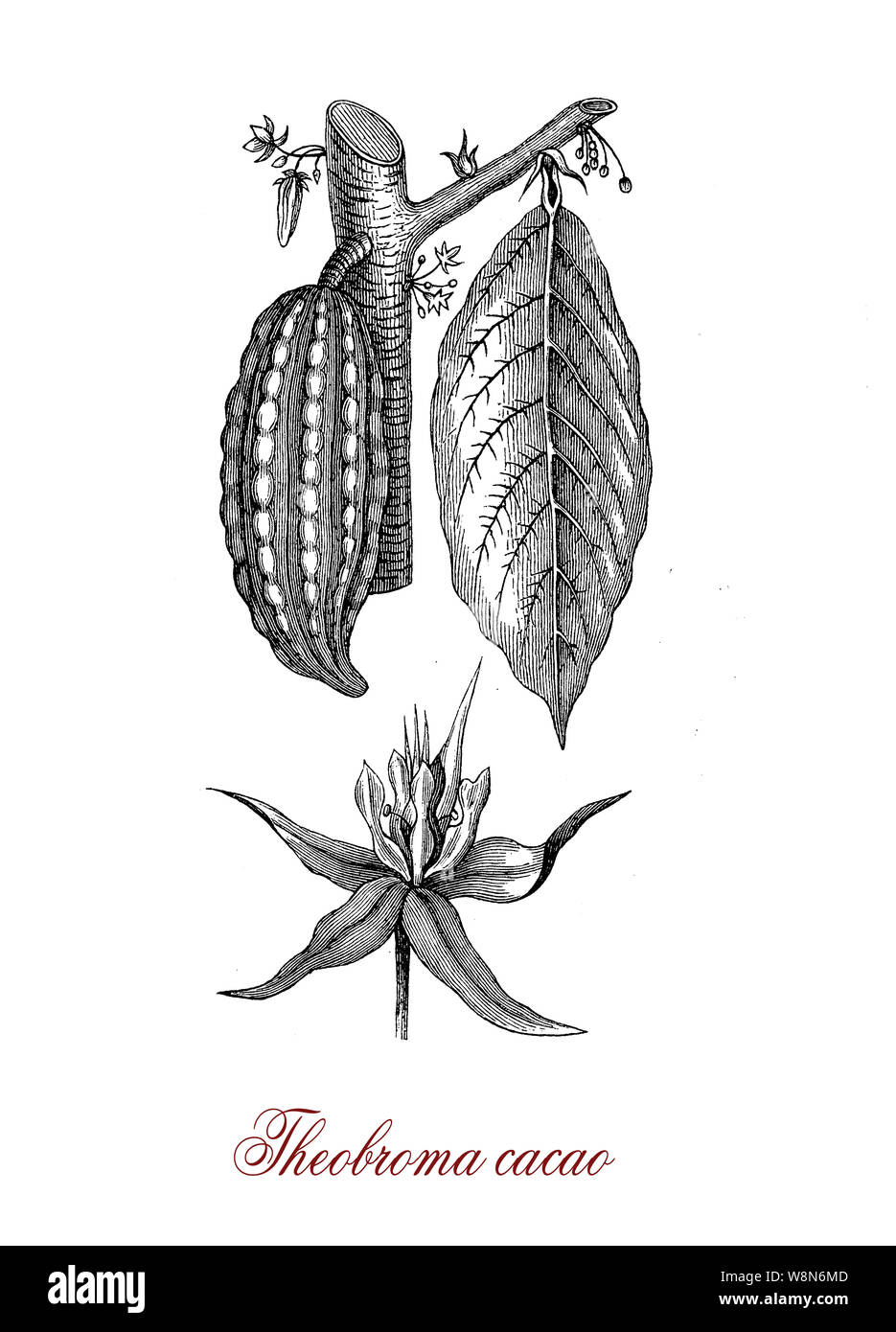 Cacao Tree Botanical Drawing High Resolution Stock Photography And Images Alamy