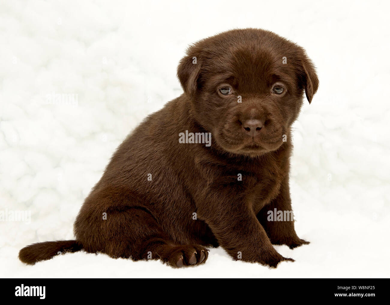 Seven Week Old Chocolate Labrador Puppy Portrait Stock Photo Alamy