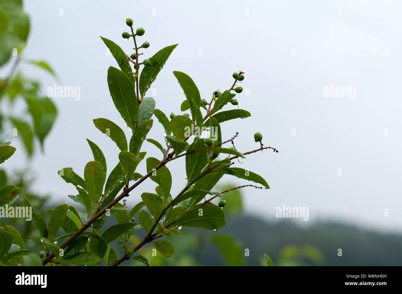 Privet Hedge Leaves Stock Photos & Privet Hedge Leaves Stock