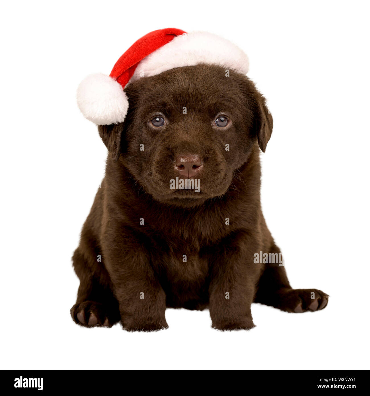 Chocolate Labrador Pup With Father Christmas Hat Stock Photo Alamy