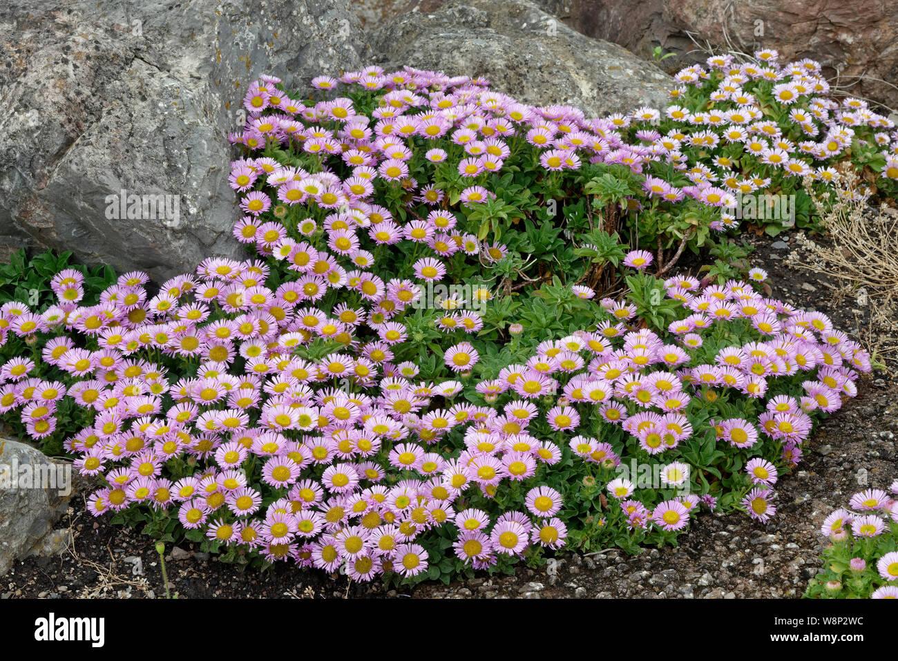 Seaside Daisy - Erigeron glaucus  Seaside Fleabane, Beach Aster, or Sea Breeze  Native of west coast of USA Stock Photo