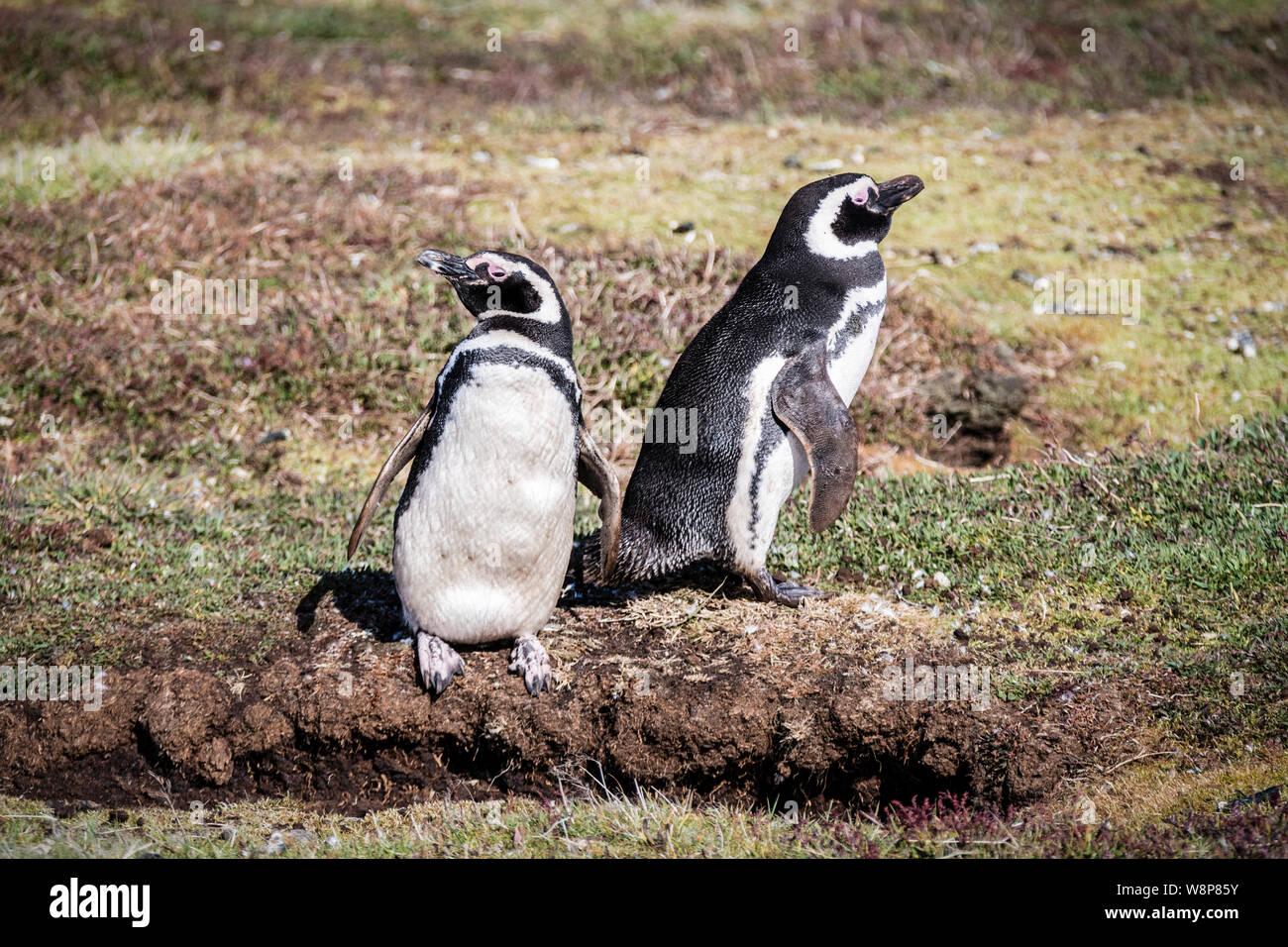 Pair of cute adult Magellanic Penguin, Spheniscus magellanicus, next to their burrow, Sea Lion Island, in Falkland Islands, British Overseas Territory Stock Photo