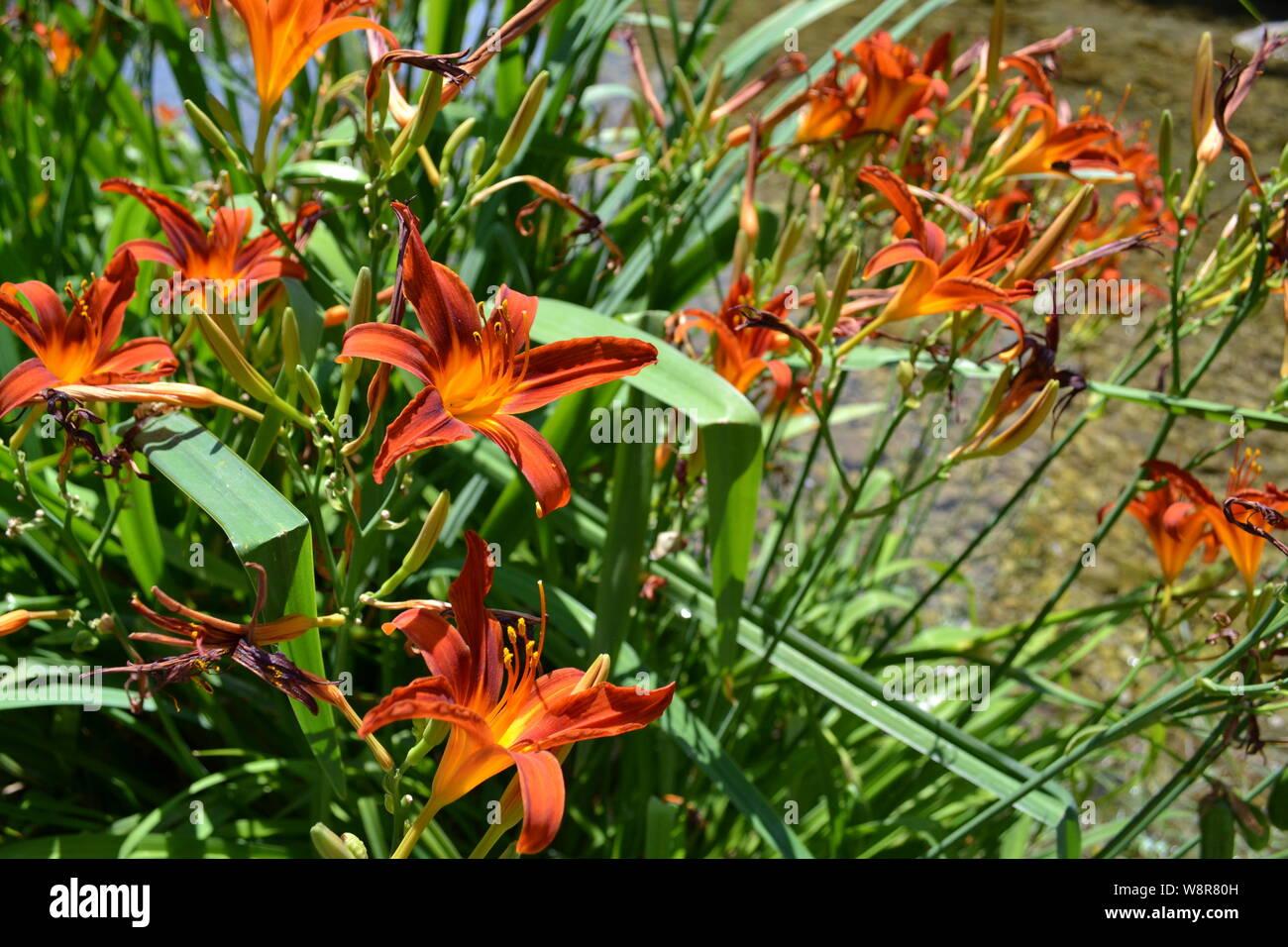 Beautiful orange daylily hemerocallis fulva flowers growing at mountain stream in a sunny summer day. Stock Photo