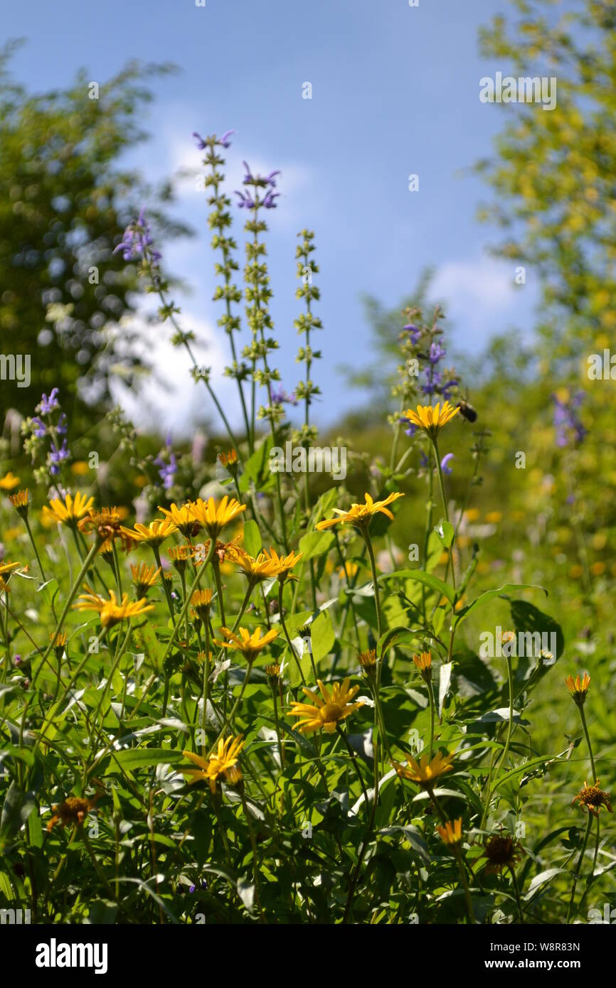 Close-up view to meadow of yellow wild daisy flowers in the forest on the blue sky background in a sunny day. Stock Photo