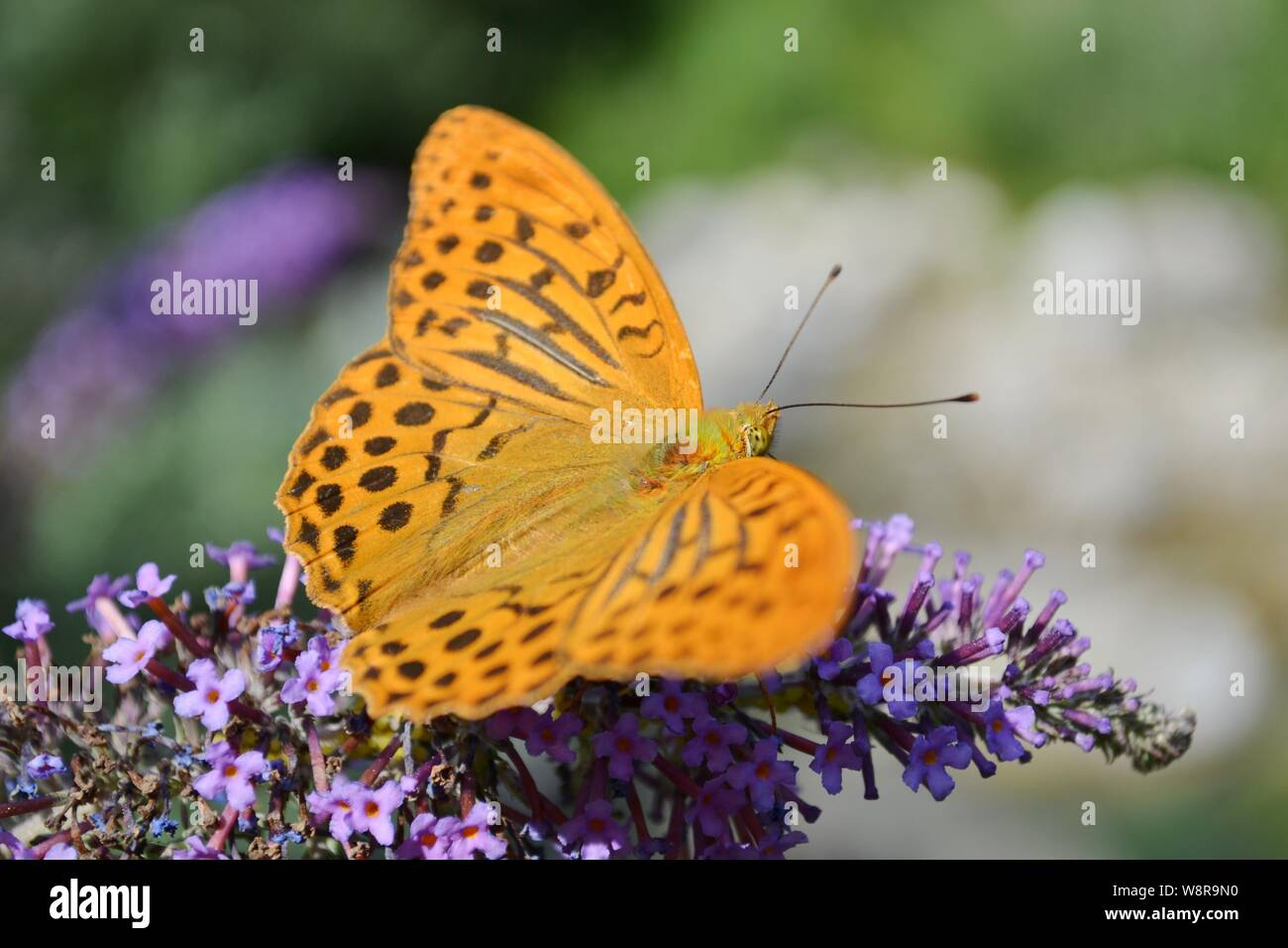 Butterfly fritillary Argynnis paphia feeding on buddleja flowers in the forest. Stock Photo