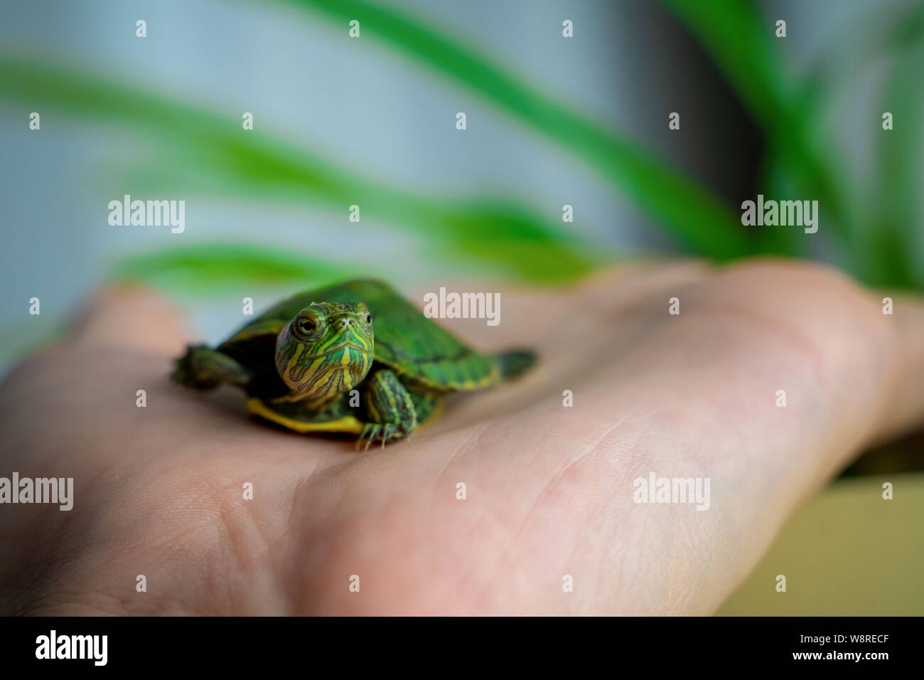 The turtle is crawling on the floor at home. Pet turtle in the room close up view. The slow animal movement. Stock Photo