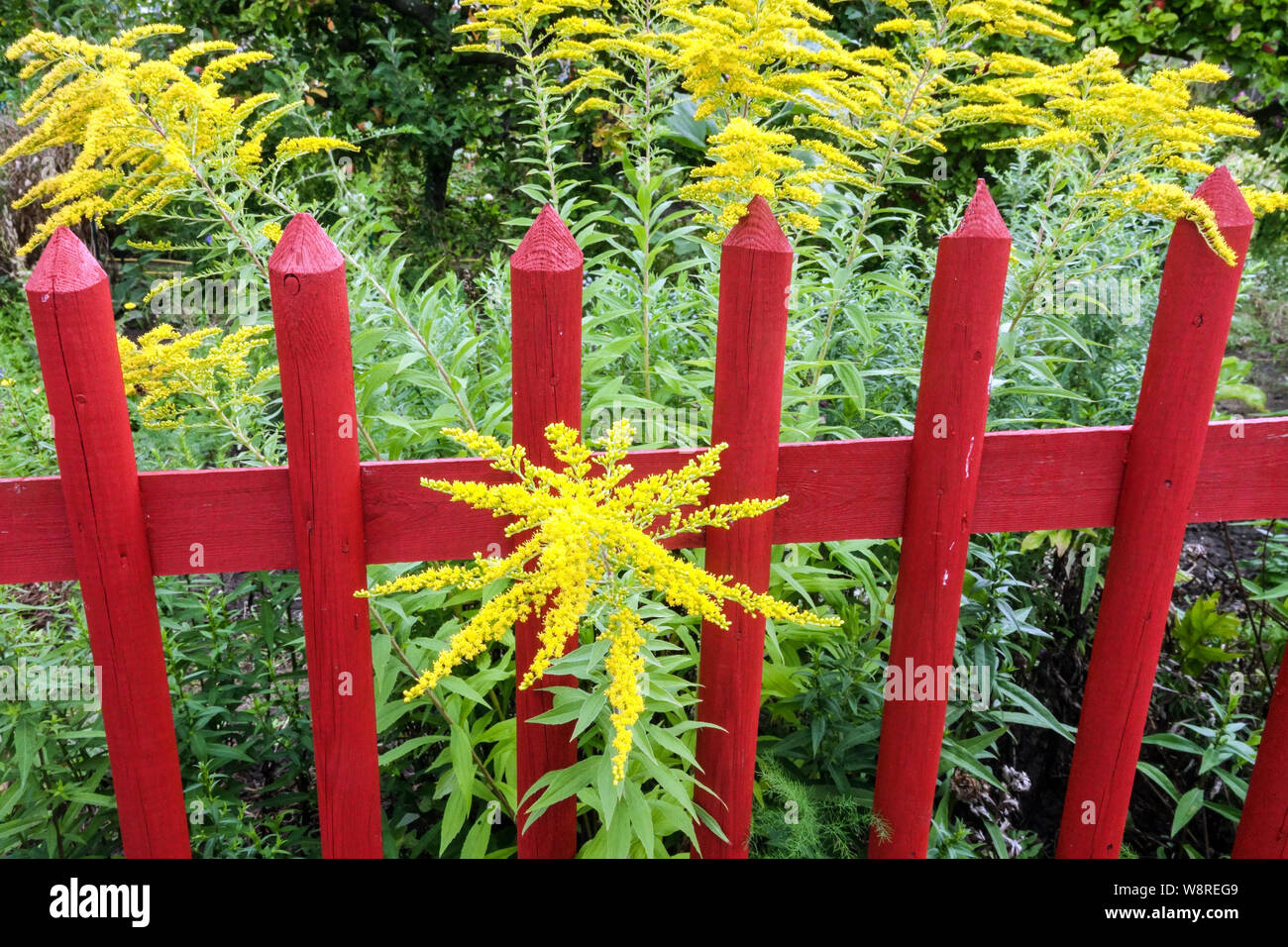 Goldenrods Flowers Growing At Red Wooden Garden Fence Stock Photo