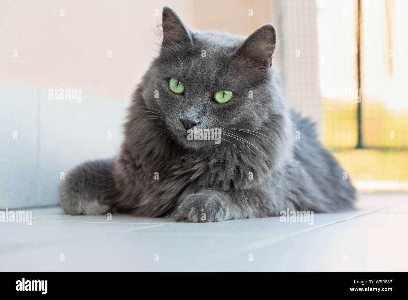 Page 2 Grey Cat And Blue Eyes High Resolution Stock Photography And Images Alamy
