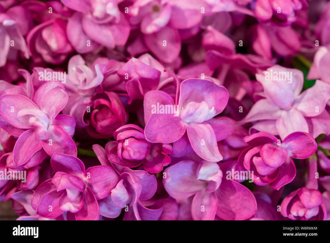 Syringa Pink Lilac Purple Flowers Of Lilac Close Up Background