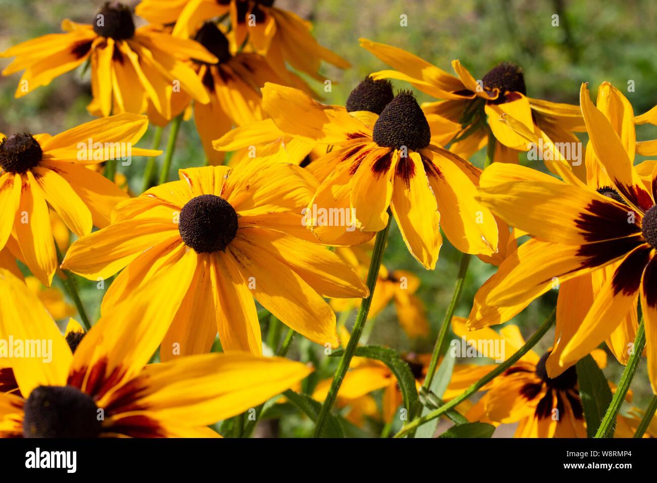 Yellow Flowers Rudbeckia Garden Decorative Flower Background Wallpaper Stock Photo Alamy