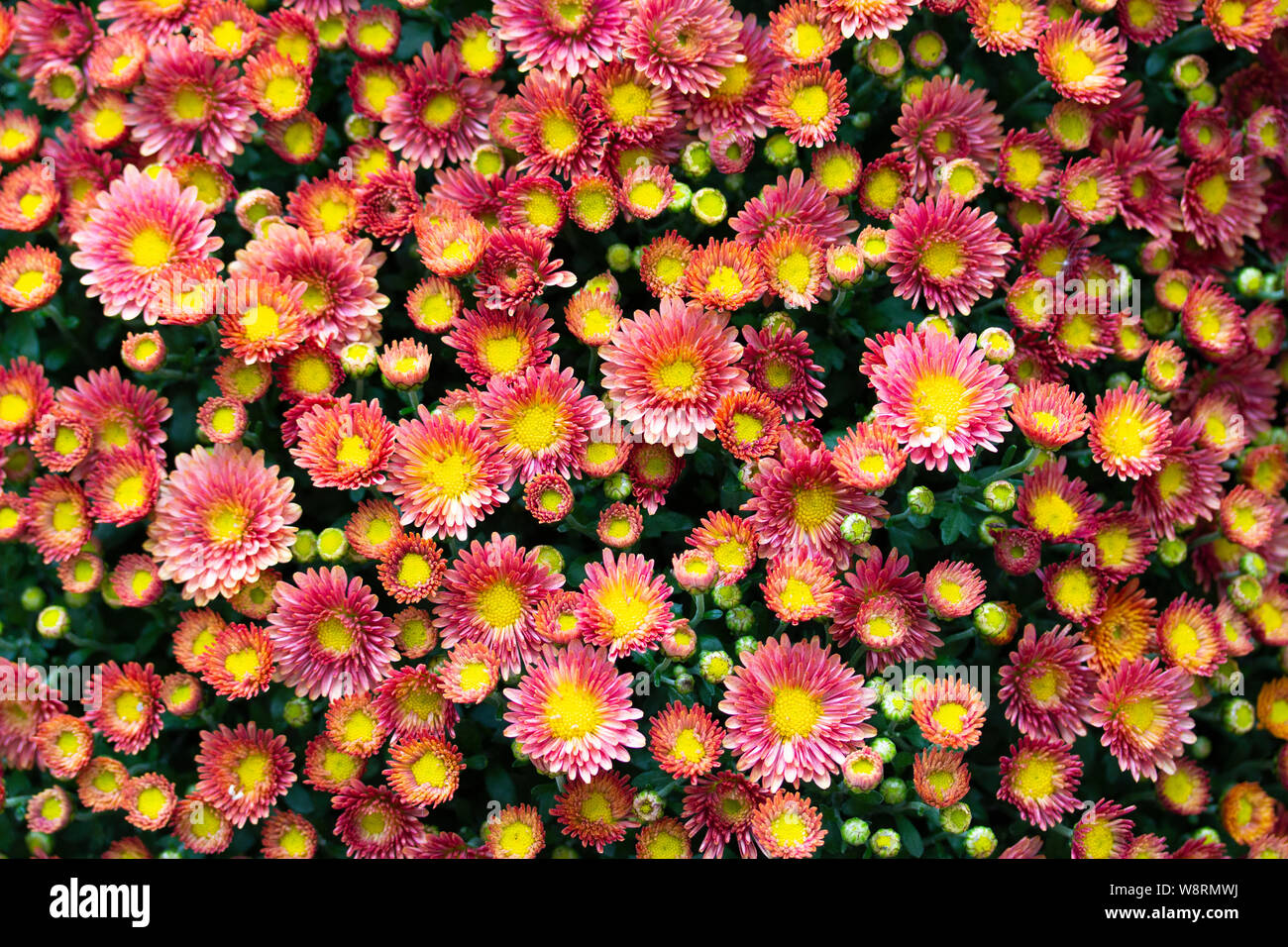Red-yellow flowers wallpaper, chrysanthemum aster daisy. Multicolored flowers, small heads of perennial flowers. Top view, inflorescences close-up Stock Photo