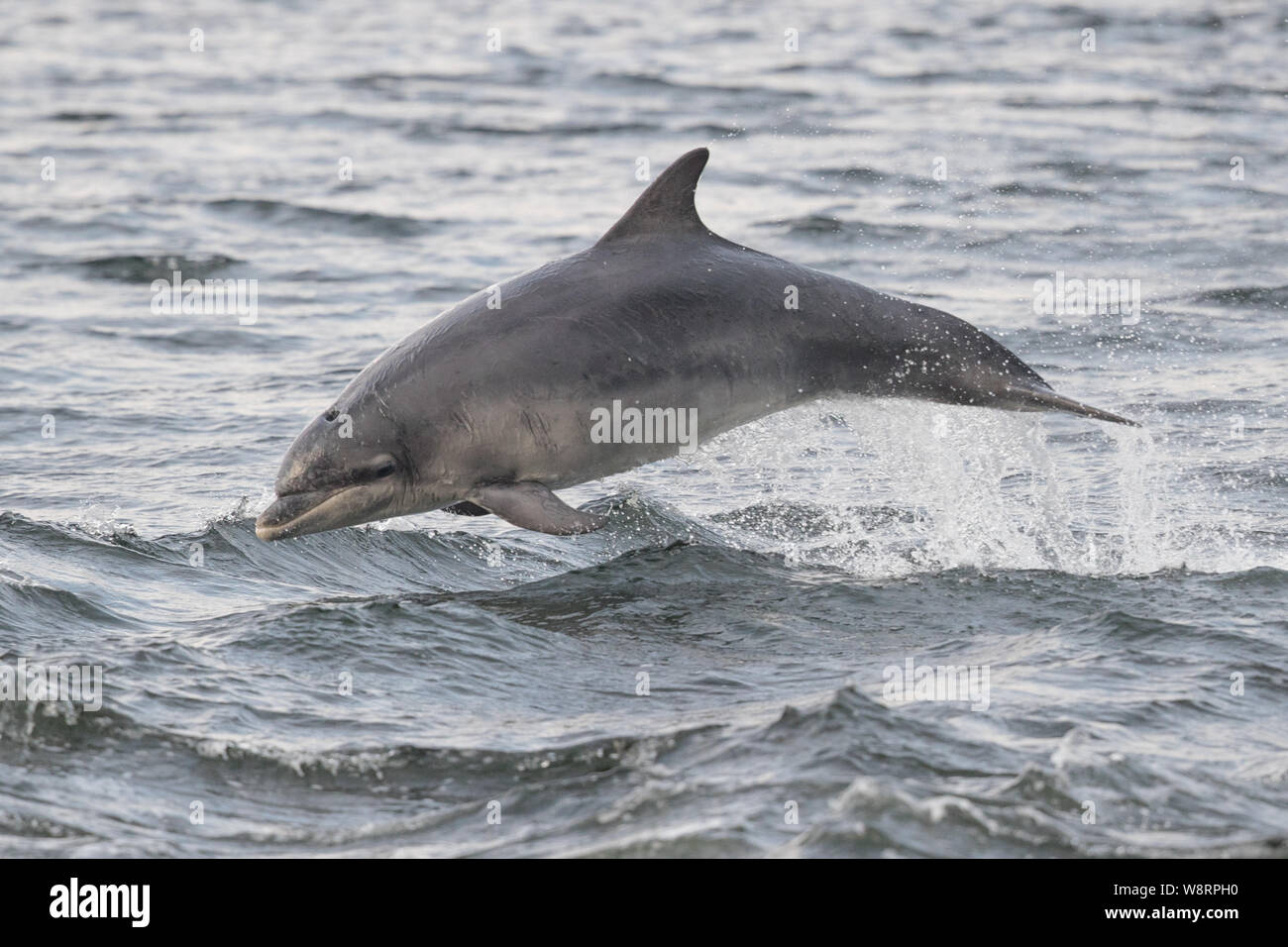 Bottlenose dolphin at Chanonry Point in the Scottish Highlands Stock Photo