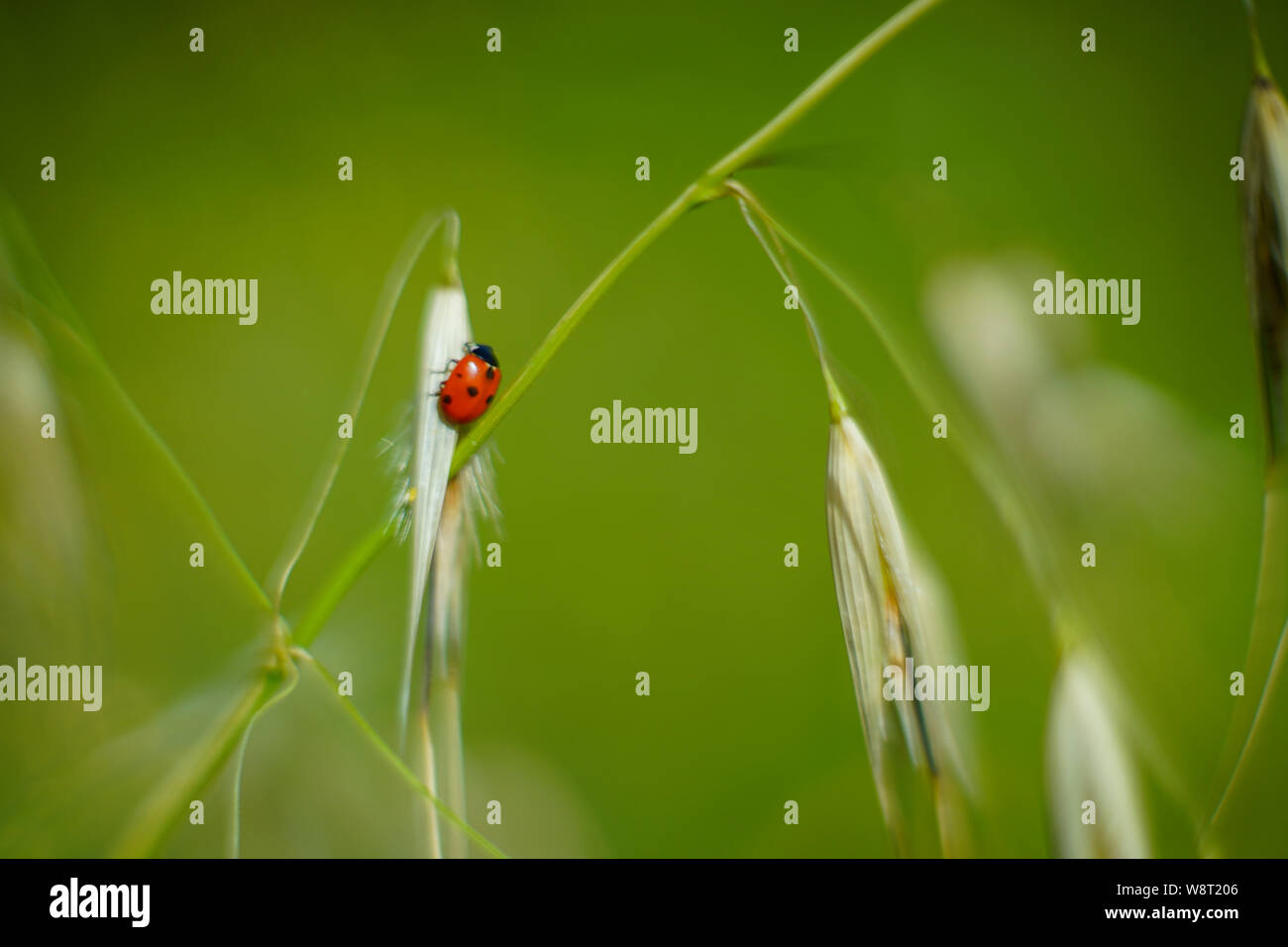 Coccinella septempunctata, the seven-spot ladybird on wild oats (Avena) Photographed in Israel in Spring Stock Photo