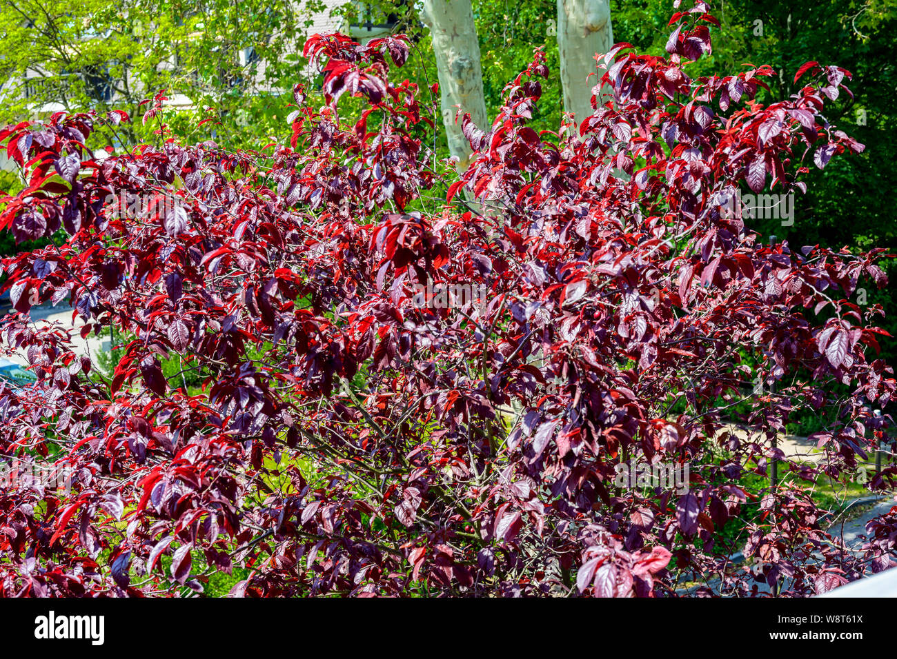 Sargent's cherry tree, Prunus Sargentii, spring foliage, Alsace, France, Europe, Stock Photo