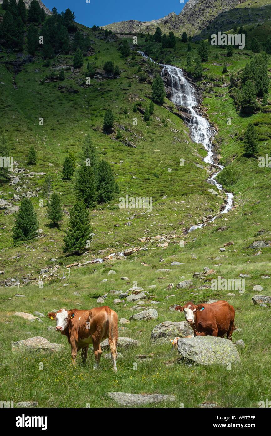 Grazing cows. Debanttal. Schobergruppe massif. Austria. Stock Photo