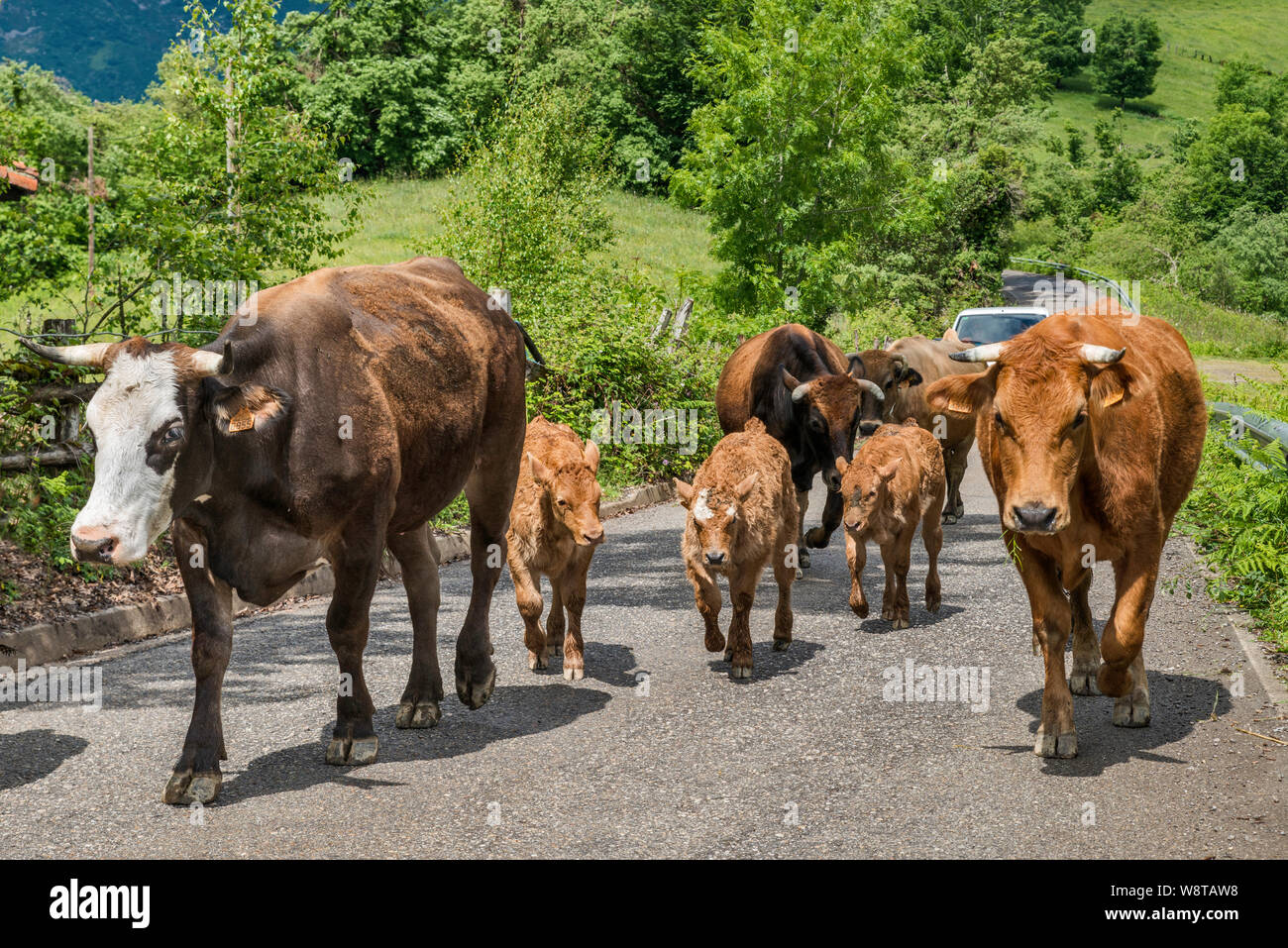 Herd of cows walking on road near village of Viego, near San Juan de Beleño, in foothills of Picos de Europa, Ponga Natural Park, Asturias, Spain Stock Photo