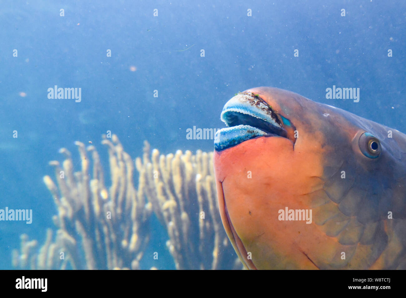 parrotfish Scaridae - orange fish with blue lips - Bermuda Aquarium, Museum and Zoo - colorful Caribbean saltwater fish - closeup of parrotfish mouth Stock Photo
