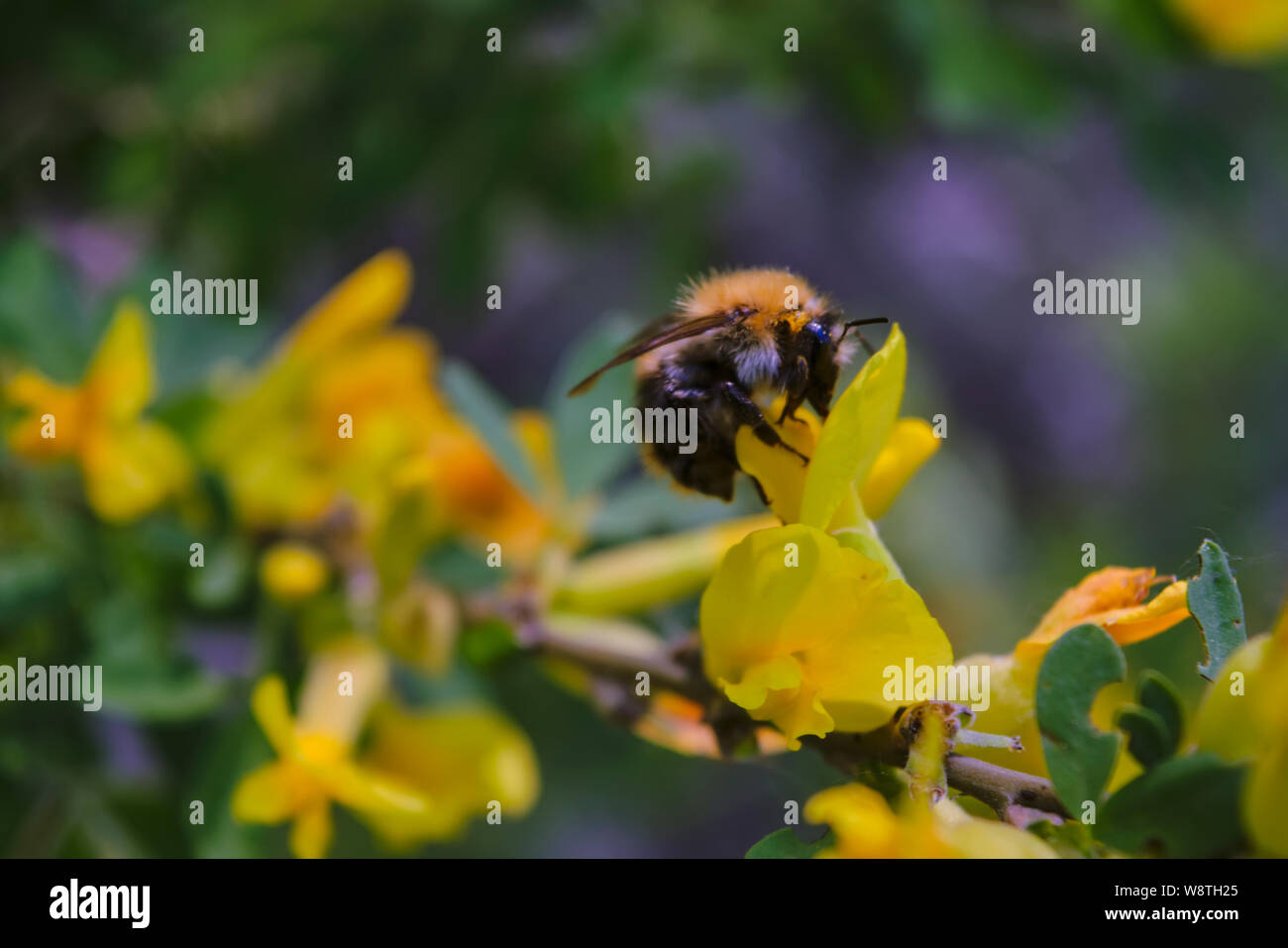 A large shaggy bumblebee collects nectar from a bright yellow flower. Stock Photo