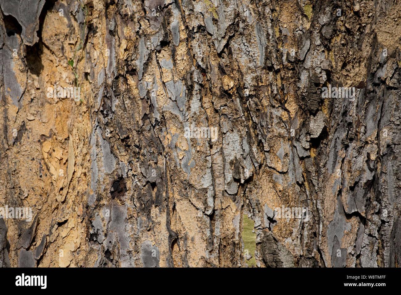 Close up of Acacia bark, suitable for background image, Elsamere, Kenya Stock Photo