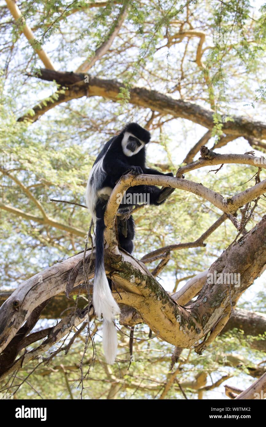 Colobus monkey,Colobus guereza occidentalis, Elsamere, Kenya Stock Photo