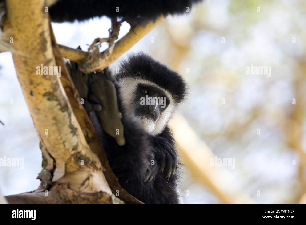 One Colobus monkey, Colobus guereza occidentalis, in Acacia tree, Elsamere, Kenya Stock Photo