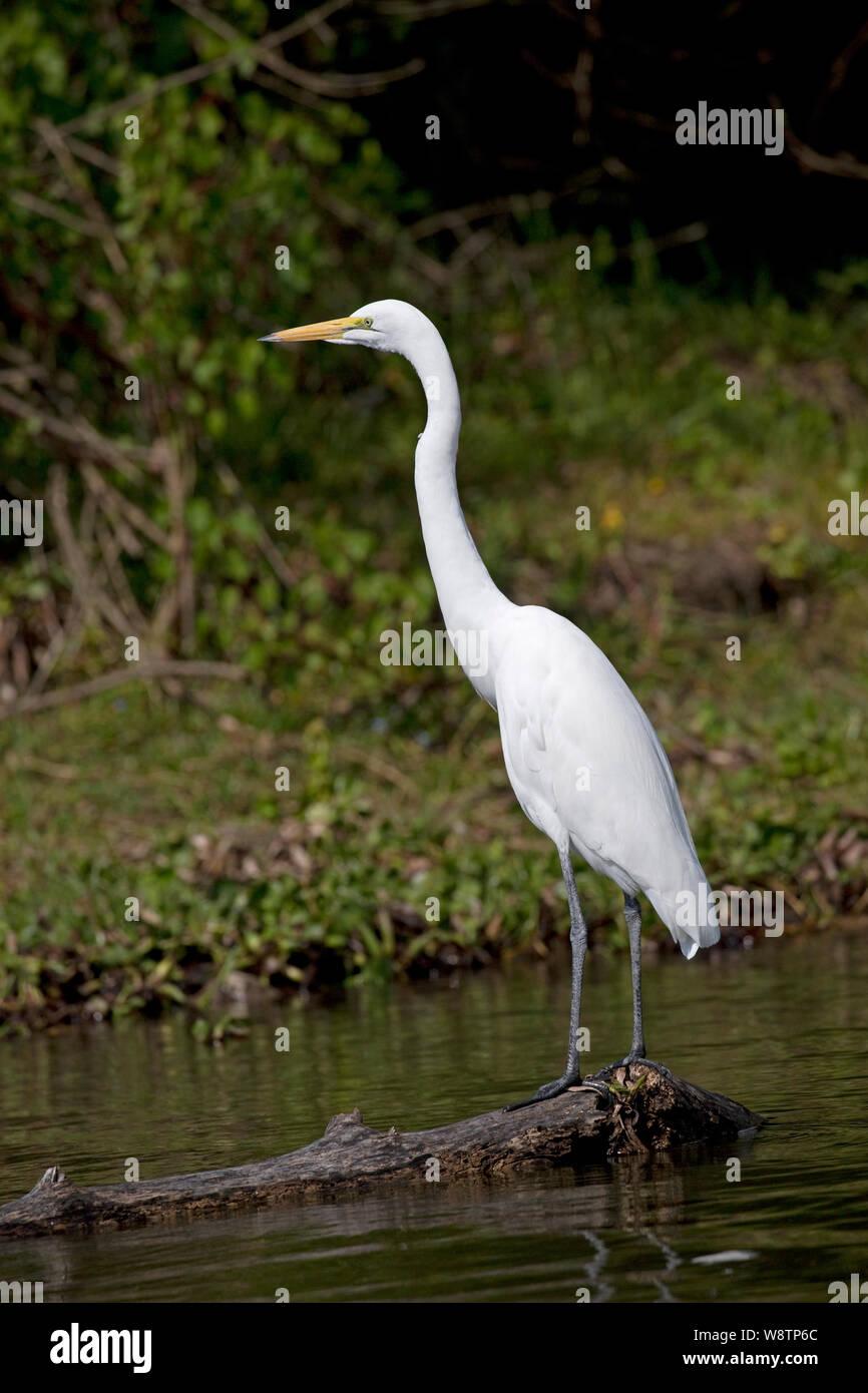 Solitary Great white egret, Egretta alba, Lake Naivasha, Kenya Stock Photo