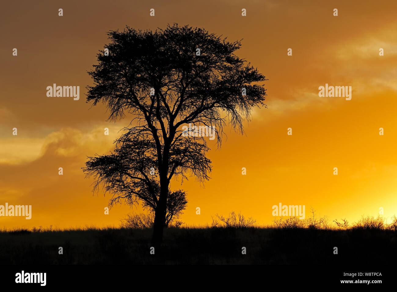 Sunset with silhouetted African thorn tree and clouds, Kalahari desert, South Africa Stock Photo